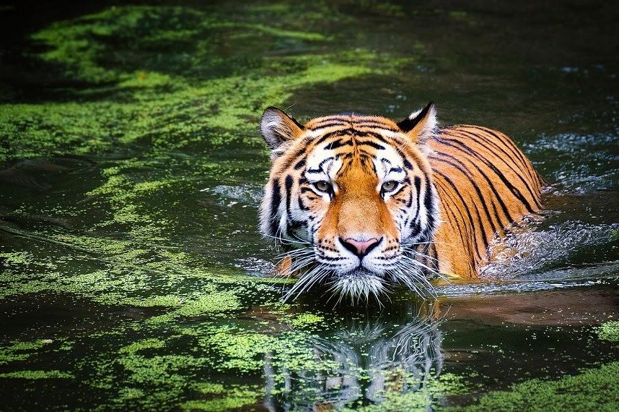 tiger jpg